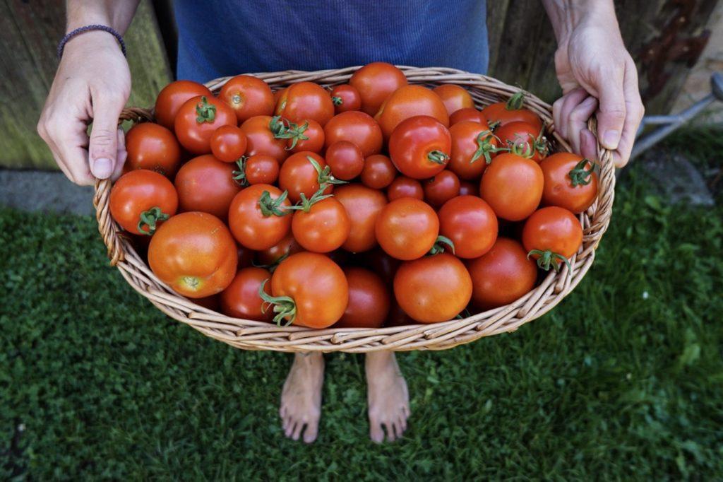 Kávoši - Nikola - pěstování - rajčátka