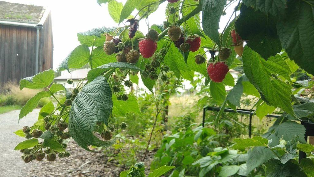 Kávoši - Kamila - pěstování - maliny