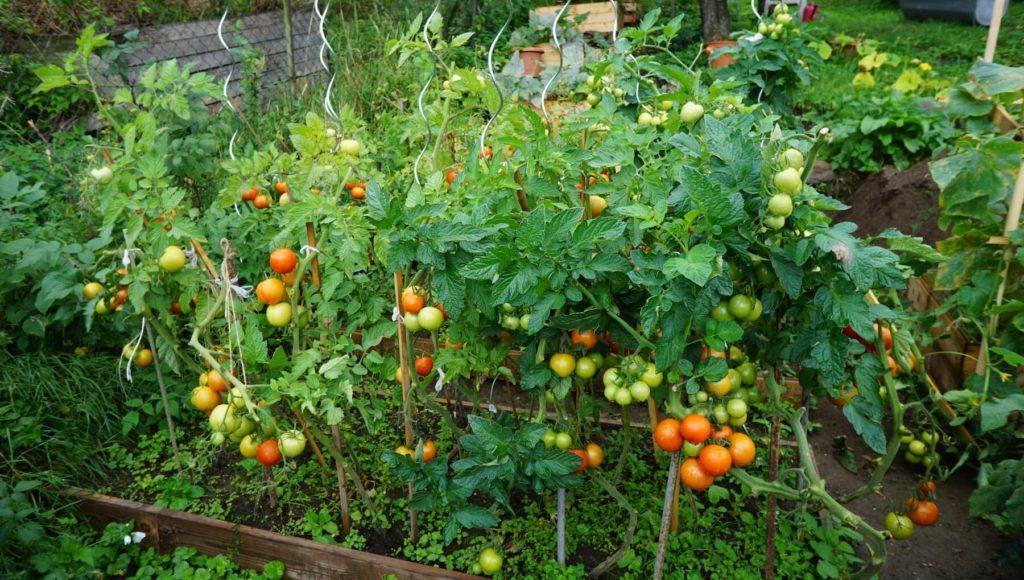 Kávoši - Nikola - pěstování - zralá rajčata