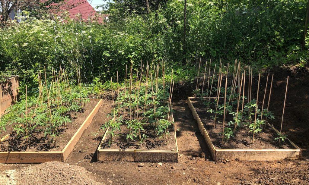 Kávoši - Nikola - pěstování - rajčata